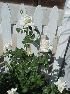 whiterosebush.JPG